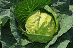 cabbage-847079_1280(1)